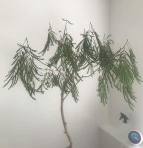 観葉植物のエバーフレッシュで枯れたものが見事復活。枯れた原因は真夏日の風通しか。